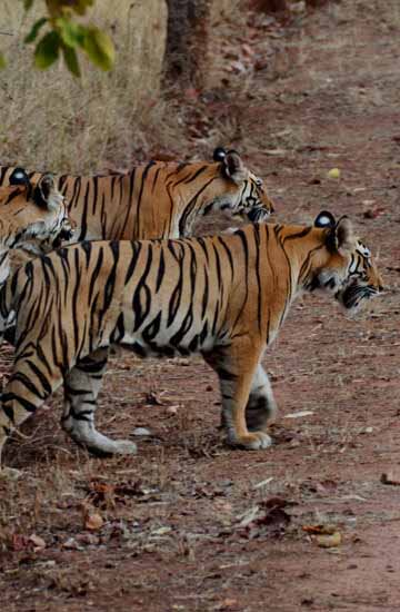 Wildlife Tour Packages Madhya Pradesh
